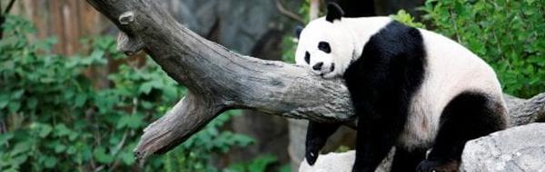 panda-white2